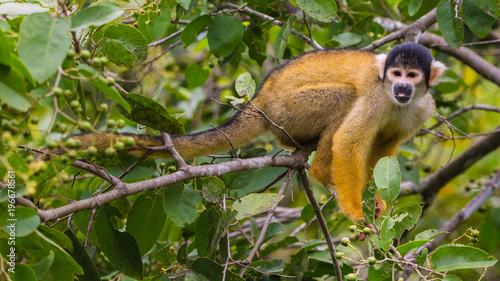 Foto op Aluminium Aap yellow squirrel monkey in the amazon rainforest