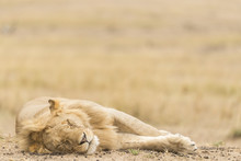Young Male Lion Sleeping On Th...