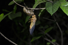 Cicada Coming Out From Shed