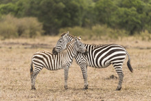 Mother And Baby Zebra