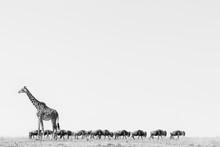 The Giraffe And The Herd Of Wildebeest