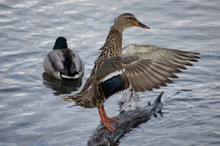 Female Duck Flapping Wings