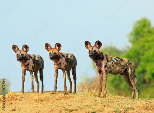 Photo  Scenic view of wild dogs (Lycaon Pictus) - Painted Dogs  looking alert after a recent Kill, with a bright blue clear sky background