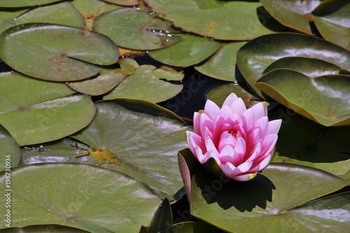 Deurstickers Waterlelies ピンク色の睡蓮の花