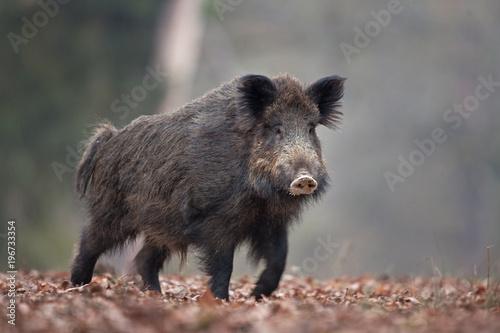 Fototapeta wild boar, sus scrofa, Czech republic obraz