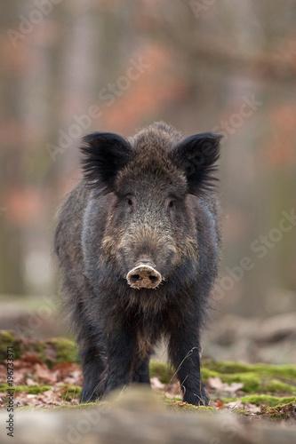Fototapety, obrazy: wild boar, sus scrofa, Czech republic