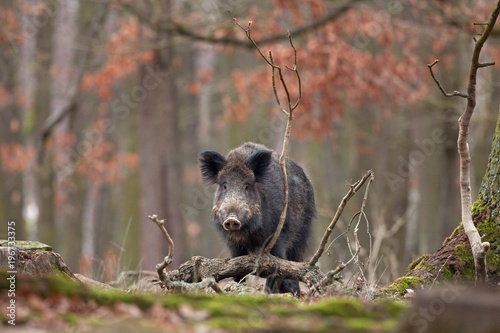 Photo wild boar, sus scrofa, Czech republic