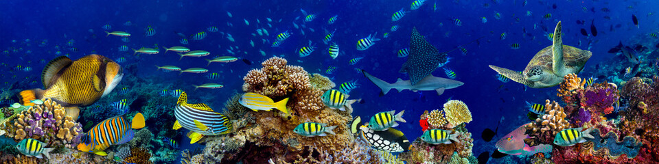 Fototapeta Panorama colorful wide underwater coral reef panorama banner background with many fishes turtle and marine life / Unterwasser Korallenriff breit Hintergrund