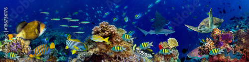 Photo Stands Coral reefs colorful wide underwater coral reef panorama banner background with many fishes turtle and marine life / Unterwasser Korallenriff breit Hintergrund