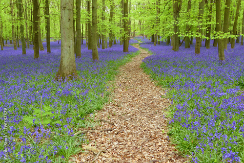 Foto op Canvas Weg in bos Magical bluebells woods in Hertfordshire, England