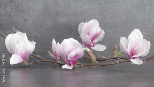 Foto op Canvas Magnolia Wunderschöner blühender Magnolienzweig