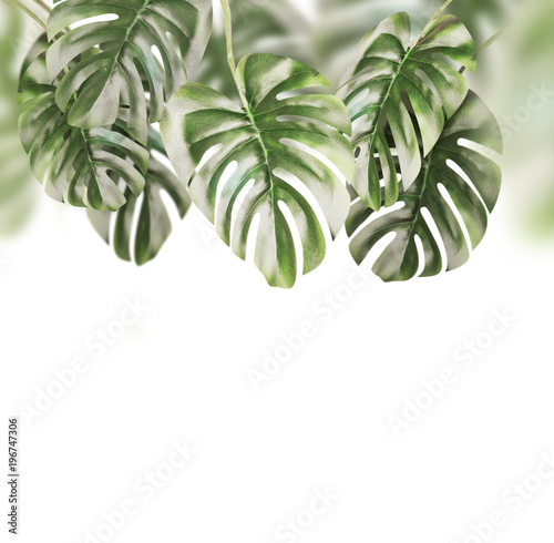 Canvas Prints Floral Tropical leaves background . Hanging Monstera branches hanging , isolated on white background