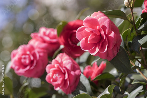 Papiers peints Azalea Red camellia flower blooming in the garden at the middle of sunny spring day with green leaf background