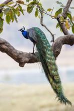 Wild Peacock Or Green Peafowl ...