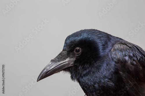 Платно Crow (raven, jackdaw, rook) portrait in extreme detail portrait in extreme detai
