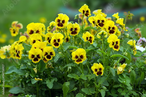 Garden flowers of yellow viola bloom in the garden on a green background Canvas-taulu