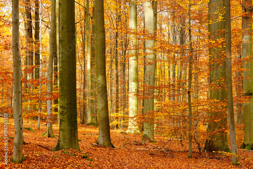 fototapeta na drzwi i meble Sunny Forest of Beech Trees in Autumn, Leafs Changing Colour