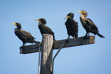 Cormorants Taking A Break