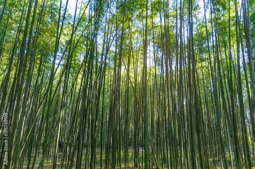 Papiers peints Bambou soft focus image of bamboo forest with morning sunlight of Arashiyama, Kansai, Kyoto, Japan, landscape, landmark, nature and travel concept