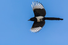 A Superb Magpie Flying To Its ...