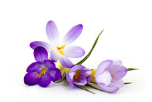 Crocus - One Of The First Spri...