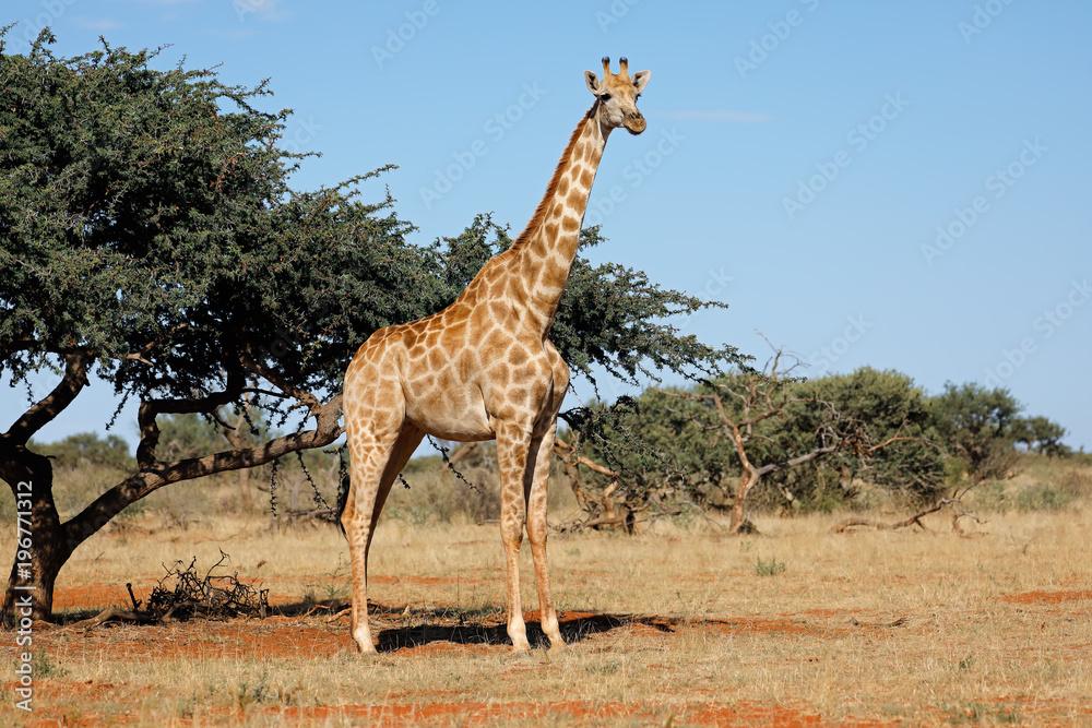 A southern giraffe (Giraffa camelopardalis) in natural habitat, South Africa.