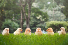 Group Of Chicks In Different P...