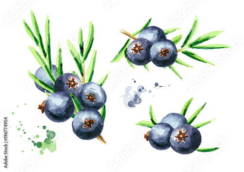Fototapeta Juniper berries set. Watercolor hand drawn illustration, isolated on white background obraz