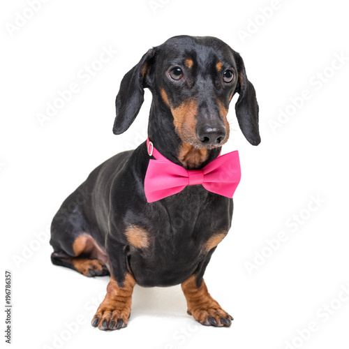 Foto op Aluminium Crazy dog portrait of elegant dachshund dog, black and tan, wearing a pink bow tie, isolated on a white background
