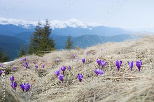 Blooming violet crocuses in mountains