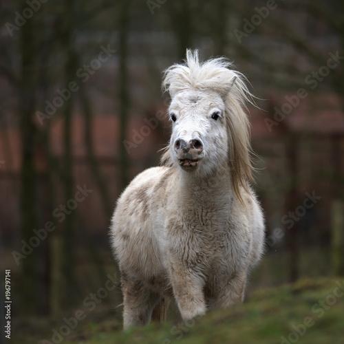 Fototapeta  Shetland Pony