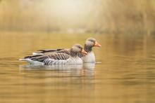 Greylag Goose Anser Anser Swim...