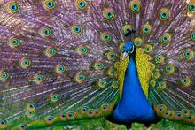 Peacock Presenting It's Plumag...