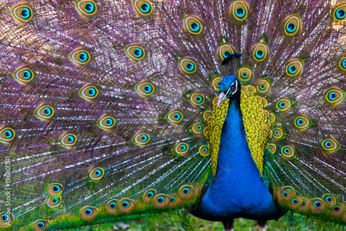 Spoed Foto op Canvas Pauw Peacock Presenting it's Plumage / Tail