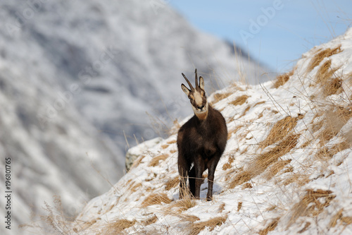 Pont, Valsavarenche, Aosta Valley, Italy. Chamois in the winter