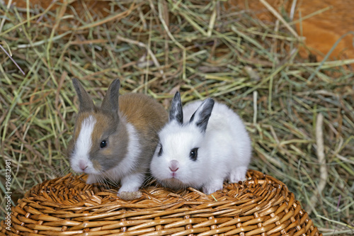Cute Baby domestic Rabbits, two sitting on basket in the hay.