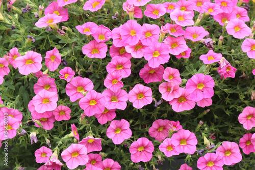 Fotografie, Obraz  blooming and spent pink calibrachoa flowers in a garden
