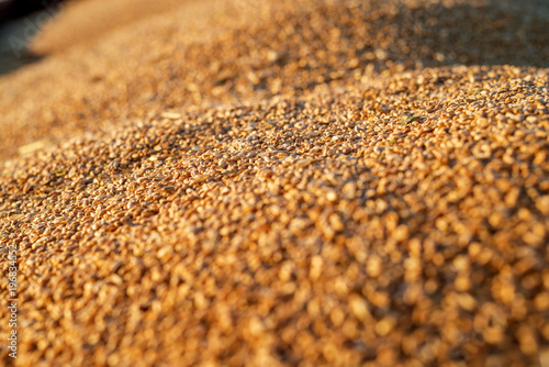 Fotomural Close up focus view of wheat seeds in a tractor-trailer during harvesting