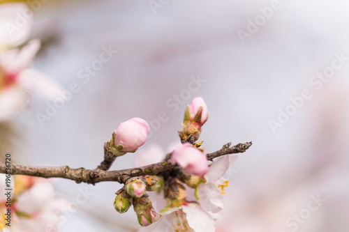 Photo  almonds flowers branch sky branches clouds background