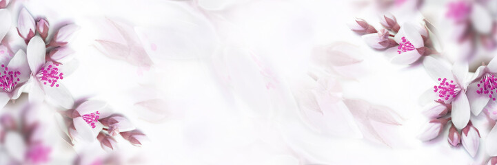 Panel Szklany White and pink beige jasmine flower blooming panorama. Faded colors. Shallow depth soft focus. Toned image. Greeting card template background