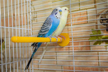 Pair Of Wavy Parrots In A Cage. Birds