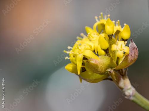 Valokuva  Blossoms of a Cornelian cherry bush (Cornus mas) in the early spring