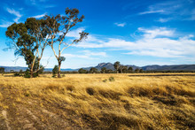 Golden Grassland Landscape In The Bush With Large Tree With Grampians Mountains In The Background, Victoria, Australia