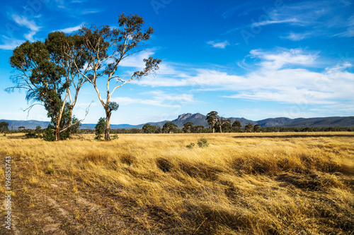 Golden grassland landscape in the bush with large tree with Grampians mountains in the background, Victoria, Australia © Loes Kieboom