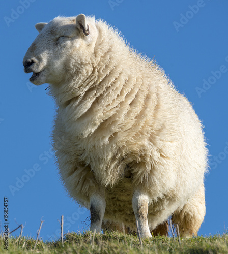 Photo Close-up detail of Sussex Downland sheep bleating, in the Cuckmere Valley, East