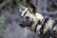 Hunting Wild Dog Portrait In S...