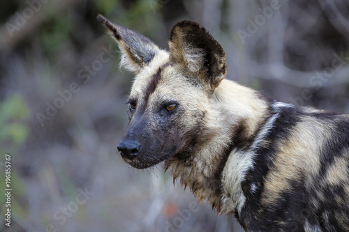 Photo  Hunting wild dog portrait in Sabi Sands Private Game Reservein the Greater Kruge