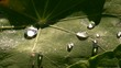 water drops on a broad leaf