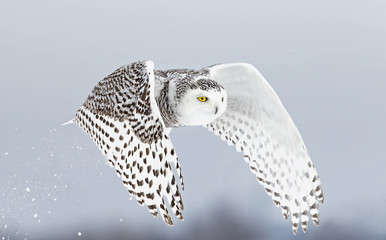Snowy owl (Bubo scandiacus) lifts off and flies low to hunt over a snow covered field in Ottawa, Canada