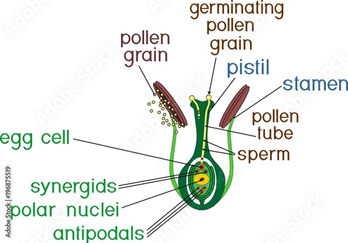 Fotografia  Structure of pistil and stamens in the section at the time of double fertilizati